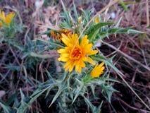 Arancia del fiore pungente immagini stock