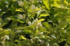 Arancia dell'arbusto del fiore in Spagna Fotografie Stock