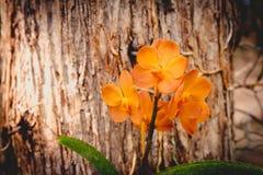 Arancia dell'orchidea allo zoo esotico eccezionale in Tailandia Fotografia Stock Libera da Diritti