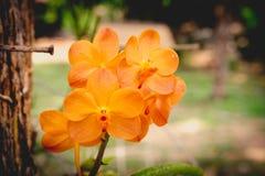 Arancia dell'orchidea allo zoo esotico eccezionale in Tailandia Immagini Stock