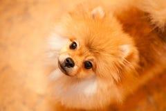 Arancia dello spitz del cane. Piccole razze del cane. Fotografia Stock Libera da Diritti