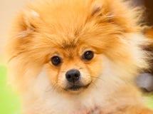 Arancia dello spitz del cane. Piccole razze del cane Immagini Stock