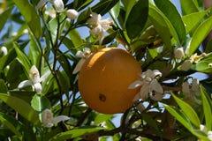 Arancia e fiori Fotografie Stock