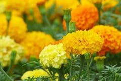 Arancia e fiori del tagete colorati giallo Immagini Stock