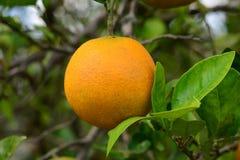 Arancia e foglie Immagini Stock