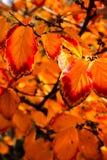 Arancia e foglie rosse di caduta Immagine Stock Libera da Diritti