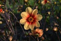 Arancia e rosso del fiore Fotografia Stock