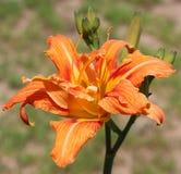 Arancia, fiori, fondo esterno e confuso fotografia stock
