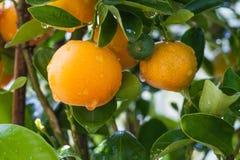 Arancia fresca con acqua Immagine Stock Libera da Diritti