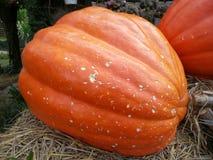 Arancia fresca della zucca del raccolto Fotografia Stock Libera da Diritti