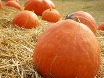 Arancia fresca della zucca del raccolto nell'azienda agricola Immagine Stock Libera da Diritti