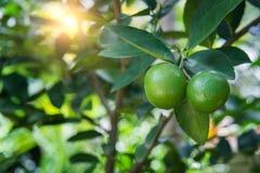 Arancia fresca sull'albero Fotografia Stock