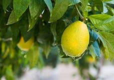 Arancia fresca sull'albero Immagini Stock