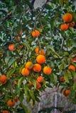 Arancia fresca sull'albero del ramo Fotografie Stock Libere da Diritti