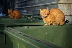 Arancia, gatti smarriti del senzatetto che si trovano sul contenitore dell'immondizia Immagine Stock