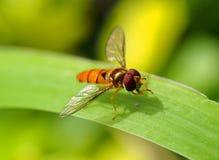 Arancia hoverfly sulla foglia verde Fotografia Stock