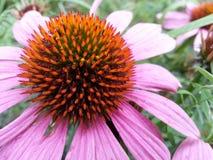 Arancia medicinale di erbe del coneflower di Echinaca Fotografia Stock