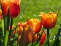 Arancia messa le piume a, tulipano rosso e giallo fotografie stock