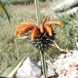Arancia selvatica della pianta verde del fiore di Deser fotografia stock