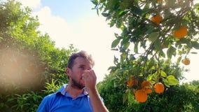 Arancia strappante dell'uomo del giardiniere dal ramo nel boschetto dell'agrume Albero da frutto arancio video d archivio