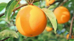Arancia succosa sul primo piano del ramo di arancio archivi video