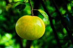 Arancia sull'albero Fotografie Stock Libere da Diritti