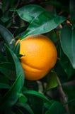 Arancia sull'arancio con le foglie, verticale, vista frontale Immagine Stock Libera da Diritti