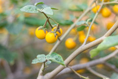 Arancia una melanzana sulla Tailandia fotografie stock