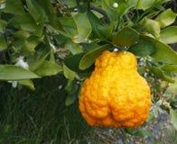Arancia valenzana e fiori d'arancio Cellulite spain fotografie stock libere da diritti