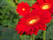 Arancia variopinta di rossi carmini e margherita gialla della gerbera nel giardino con luce naturale di mattina Viaggio nella cit fotografia stock