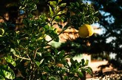 Arancio al tramonto con la frutta dell'ombra immagini stock