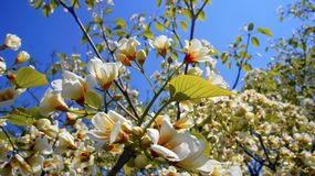 Arancio bianco di fioritura in primavera immagini stock