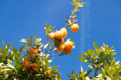 Arancio - citrus sinensis Fotografia Stock Libera da Diritti