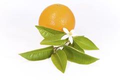 Arancio con il fiore Immagini Stock Libere da Diritti