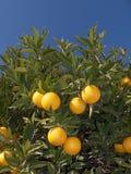 Arancio con il fiore Immagini Stock