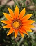 arancio del fiore Fotografia Stock Libera da Diritti