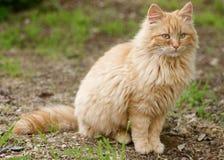 arancio del gatto Fotografia Stock Libera da Diritti