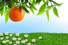 Arancio della sorgente fotografia stock
