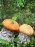 arancio due di fine della protezione del boletus in su Fotografia Stock