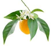Arancio e fiore Fotografia Stock