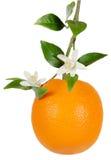 Arancio e fiore Fotografie Stock Libere da Diritti
