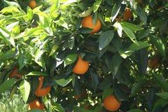 Arancio maturo su un primo piano dell'albero Fotografia Stock