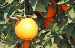 Arancio maturo sull'albero Fotografia Stock