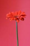 Arancio su colore rosso fotografia stock libera da diritti