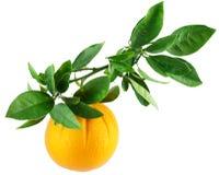 Arancio su una filiale con i fogli Fotografia Stock Libera da Diritti