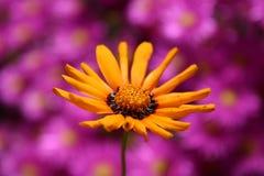 Arancio sul colore rosa fotografie stock libere da diritti