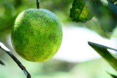 Arancio sull'albero Fotografia Stock Libera da Diritti