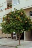Arancio sulla via, Cipro Immagini Stock Libere da Diritti