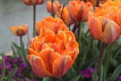 Arancio vibrante Fotografia Stock Libera da Diritti