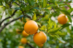 Arancione-albero con gli aranci freschi Immagini Stock